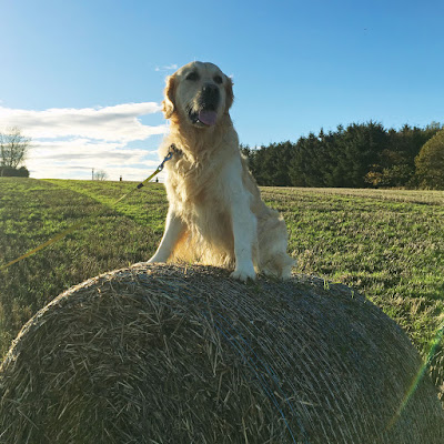 Golden retriever on hay bale - Nov 2017
