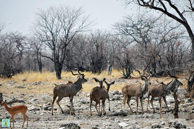 Kudus en Parque Nacional de Etosha, Namibia