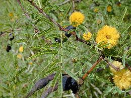 Acacia atramentaria