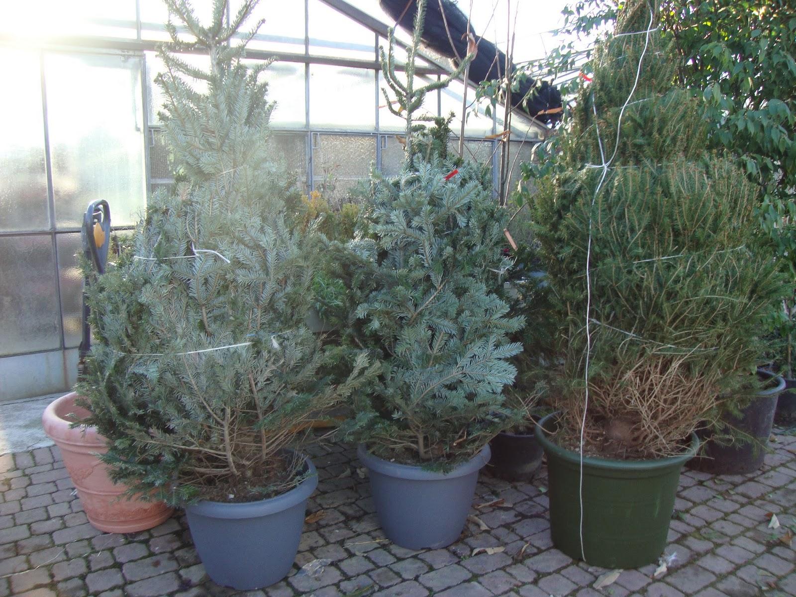 Un piccolo giardino in citt l 39 albero di natale vero una - Quanto costa una jacuzzi da esterno ...
