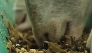 Ternak suka Pembuatan Silase Hijauan Pakan Ternak