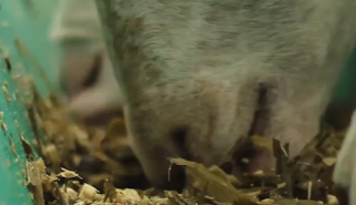 Kebutuhan Nutrisi Ternak Kambing Domba Madani Farm