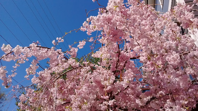 pink cherry tree blossoms against a blue sky