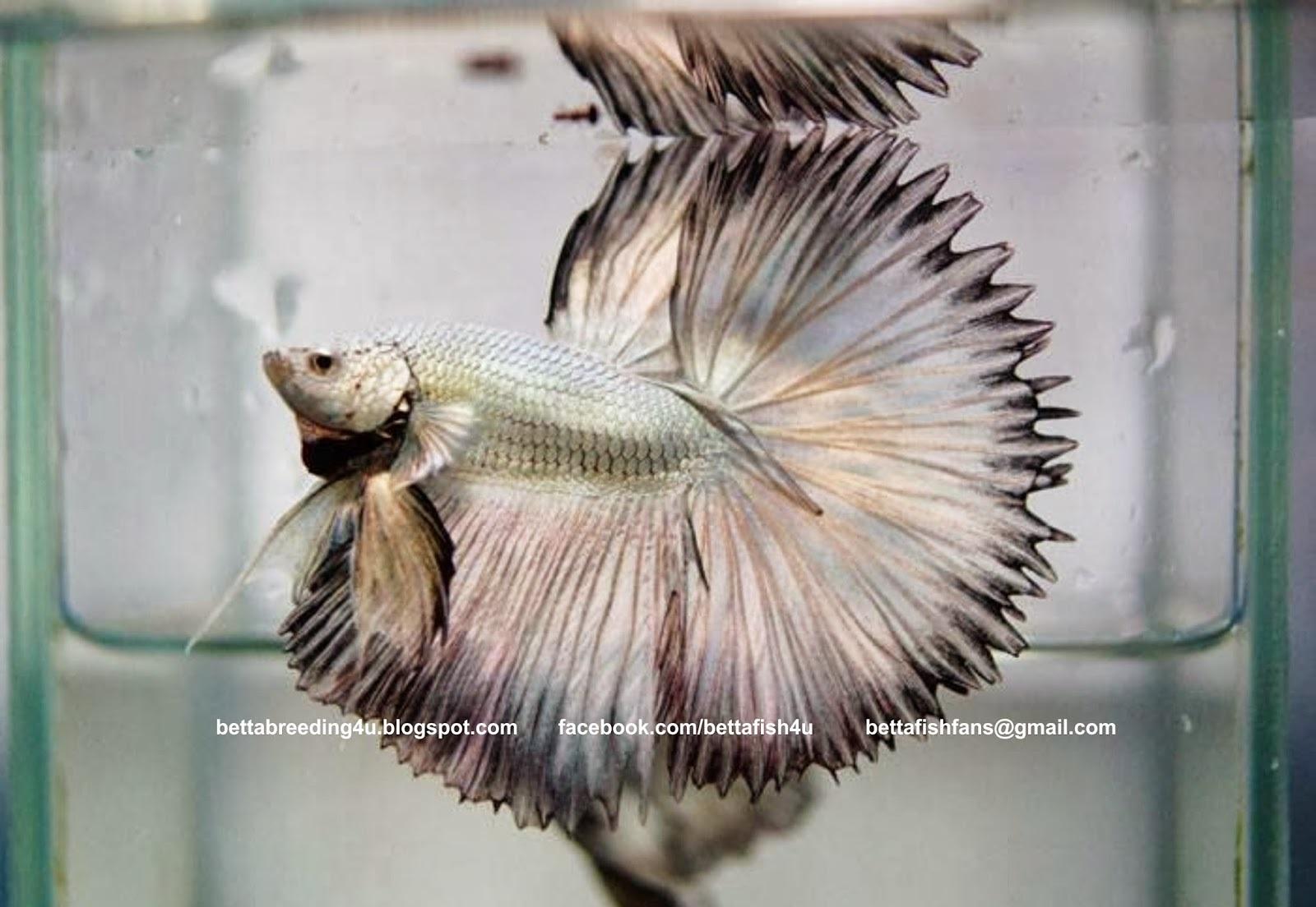 Ikan Cupang Combtail - Combtail Betta - Ikanhiasku.net