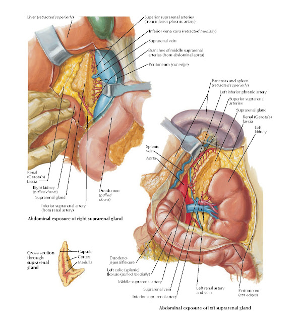 Arteries and Veins of Suprarenal Glands in Situ Anatomy