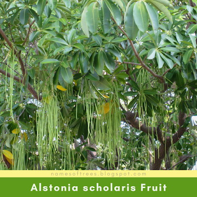 Alstonia scholaris Fruit