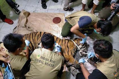Harimau Sumatera di Minas Kabupaten Siak Mati dengan Kaki Terjerat Seling