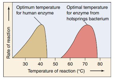 suhu, temperatur, enzim, reaksi enzimatis