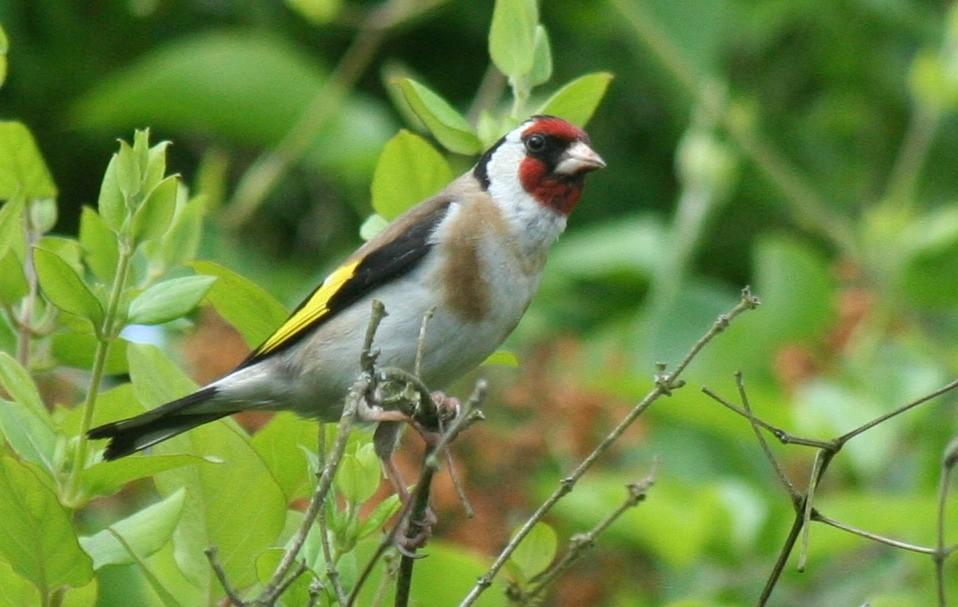 Fond d 39 cran gratuit printemps oiseaux fonds d 39 cran hd for Oiseaux de jardin au printemps