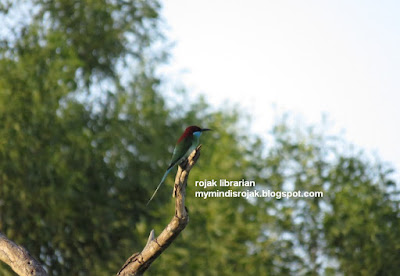 Blue-Throated Bee Eater