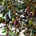SOS-Απαγόρευση χρήσης της δραστικής ουσίας chlorpyrifos στα ελαιόδεντρα από την ΔΑΟΚ Αργολίδας