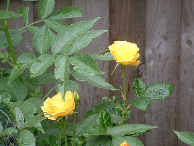 Photo of a rosebush with two yellow roses blooming