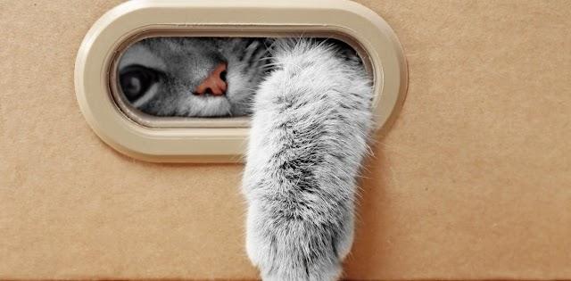 Μπορούν οι γάτες να πάρουν ή να μεταβιβάσουν πραγματικά το COVID-19;