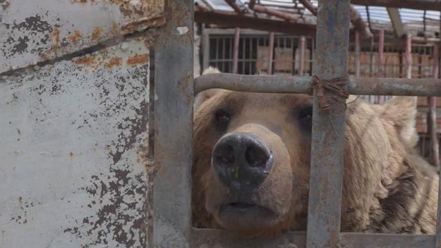 ONG quiere salvar a osos enjaulados en Armenia