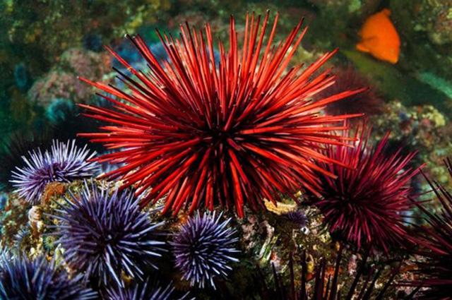 Landak laut merah
