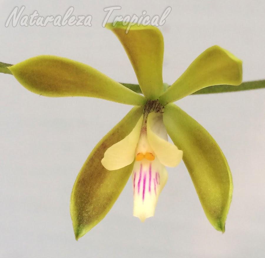 Detalles de la flor de la orquídea Encyclia acutifolia