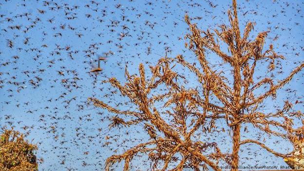 locust attack uttar pradesh