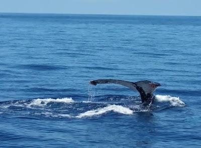 Schnellfähren bekommen Ausweichrouten zum Schutz der Wale