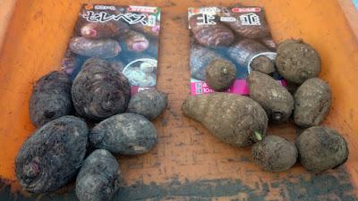 セレベスと土垂の種イモ