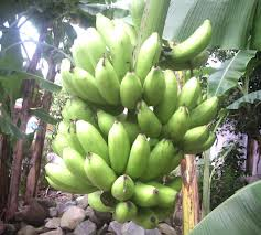 manfaat bonggol pisang bagi kesehatan