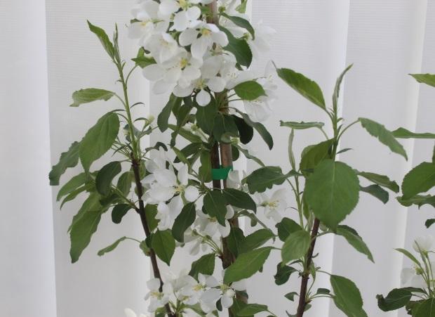 Uusi ihana paratiisiomenapuu.
