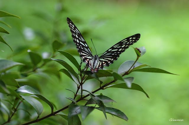 雞南山的紅星脈蛺蝶