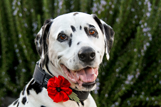 Dalmatian dog wearing a rolled ribbon remembrance poppy on his collar