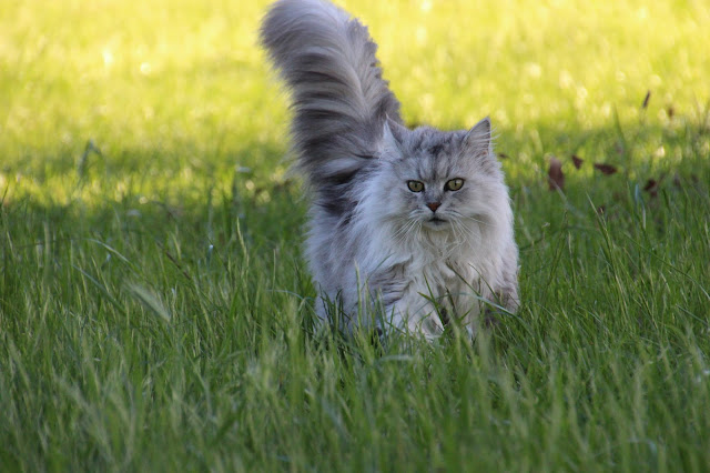 What is a Munchkin cat? – Cat in the Box LLC