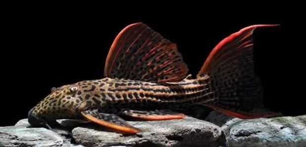 Ikan Pleco Hias - Ikan Hias yang Kuat Hidup Tanpa Oksigen