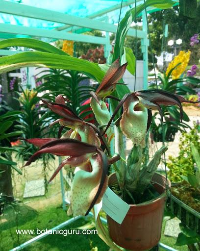 Catasetum incurvum flowers