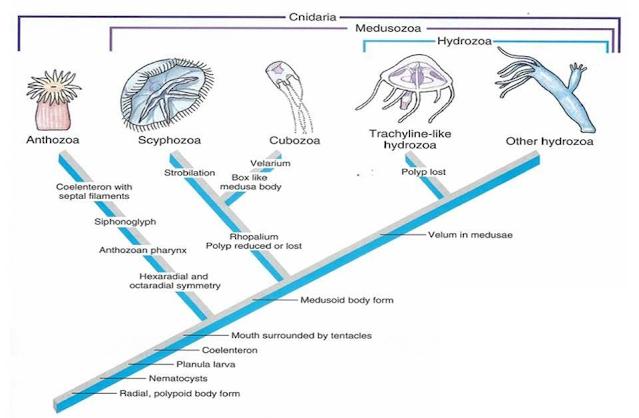 Gambar  . Filogeni Cnidaria