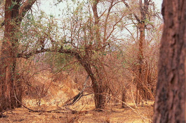 Girafa camuflagem