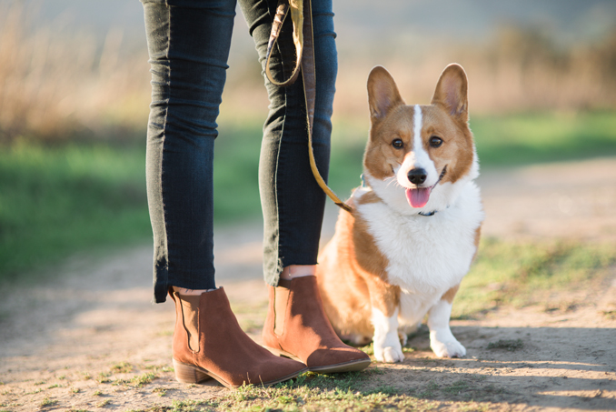 Seychelles Marquee Suede Chelsea Bootie, Peanut the Corgi