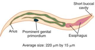 Praktikum Parasitologi Ciri-Ciri Nematoda; Strongyloides stercoralis