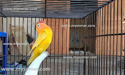 https://www.mysomer.com/2020/02/harian-lovebird-betina-dewasa-untul.html