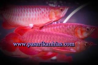 Budidaya Ikan Arwana Super Red Di Akuarium