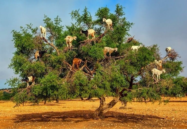 With their incredible sense of balance honed by evolution and mountains, goats scale trees without skipping a beat