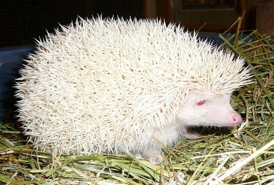 Hedgehog | A-Z List of 125 Rare Albino Animals [Pics]