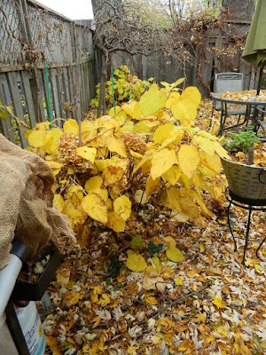 Coxwell-Danforth Toronto Fall Cleanup Before by Paul Jung Gardening Services--a Toronto Organic Gardener