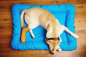 recuperação física em cães