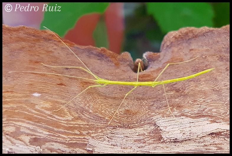 """Ninfa L3 de Candovia evoneobertii """"Paulinia"""", 3 cm de longitud"""