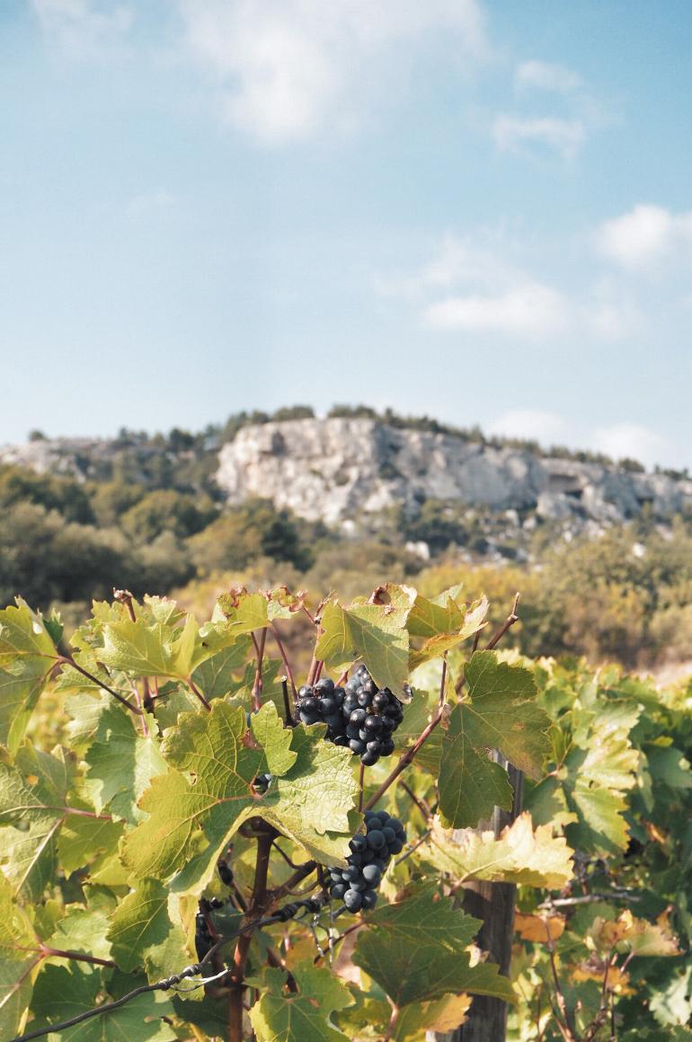 Mas Sainte Berthe - vignes et raisin