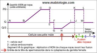 La fécondation correspond à la fusion des noyaux des gamètes haploïdes