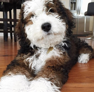 Giant Sheepadoodle Weight