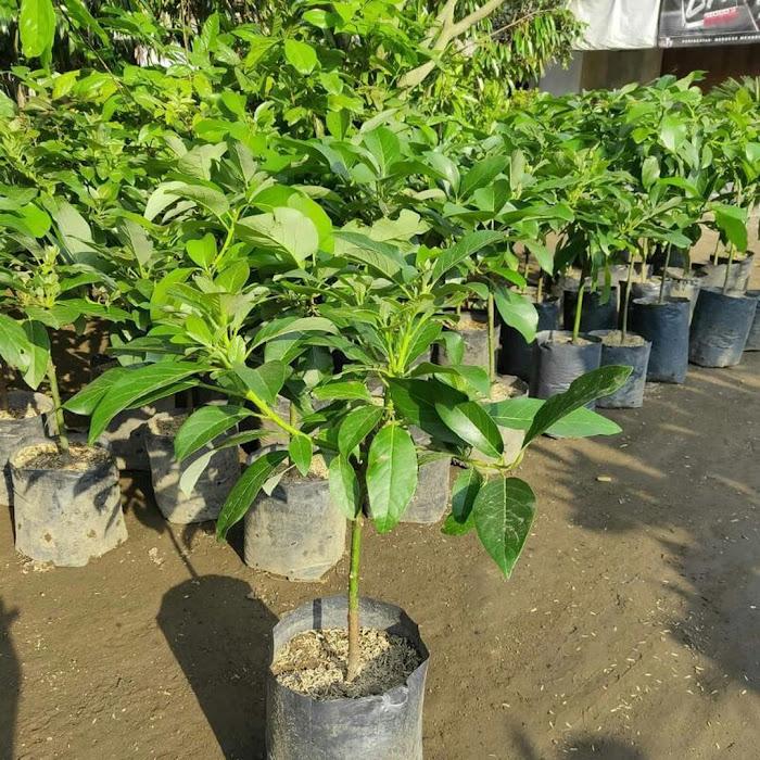 Bibit buah alpukat markus super Sumatra Selatan