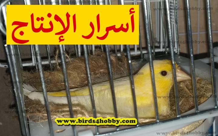 انثى طائر كناري صفراء تحضن على البيض
