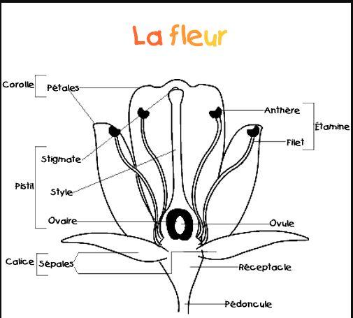 أجزاء الزهرة بالفرنسية