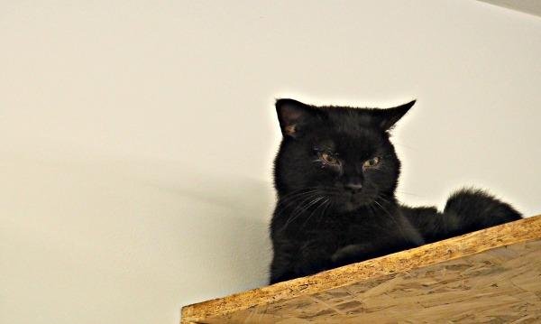 mr darcy cat
