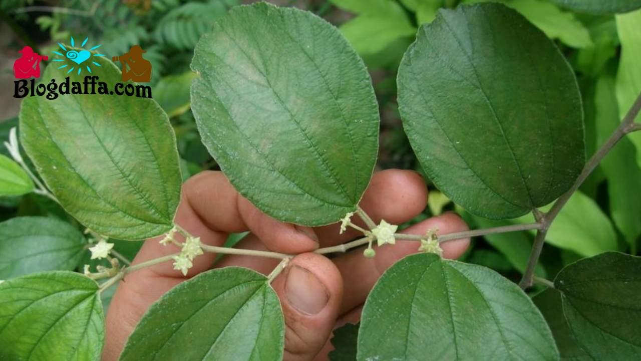 Manfaat daun bidara untuk kesehatan