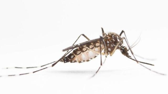 Ternyata Bahaya Nyamuk Betina Sudah Tertulis Dalam Al-Qur'an